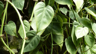 ENMA-philodendron-hederaceum.png