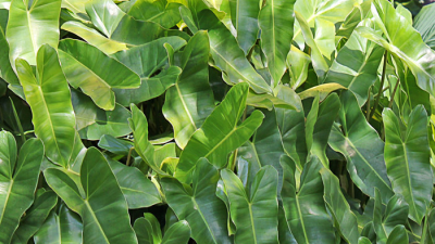 ENMA-philodendron-imbe.png